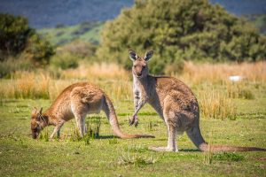 Alpha Hotel Canberra Outlook - Kangaroos